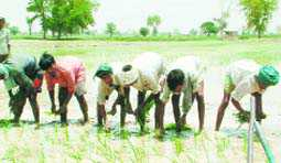 Majha farmers go for MSP-covered paddy