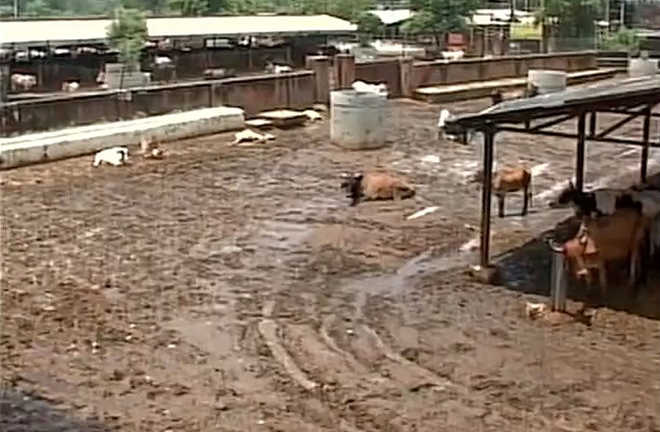 8,122 cows died since Jan at Hingonia gaushala: Rajasthan govt