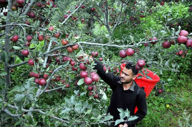Climate change hits apple cultivation