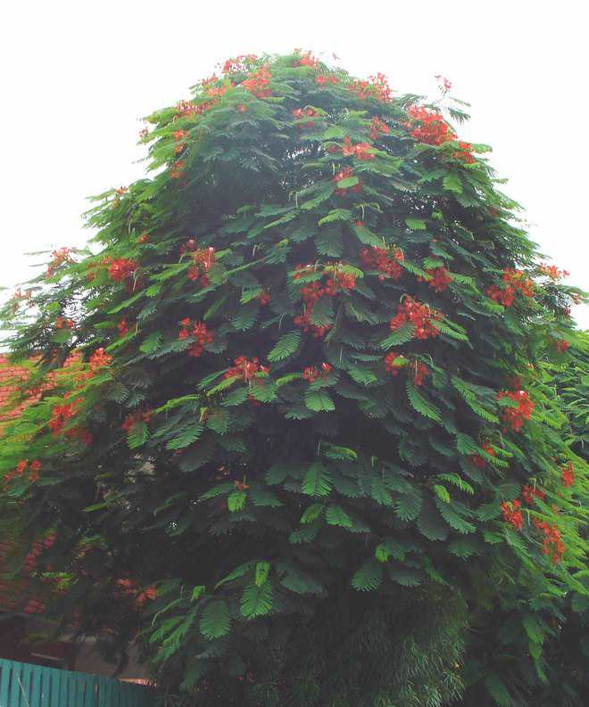 Gulmohar, its beauty, different names and varieties