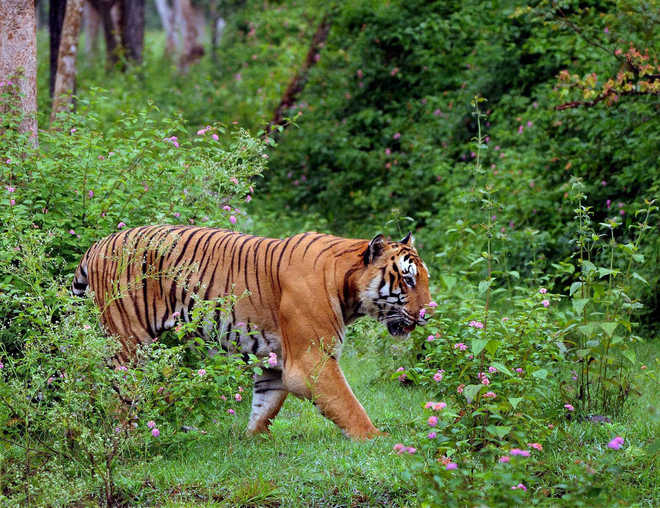 Tiger reintroduction cannot be done soon: Biologist
