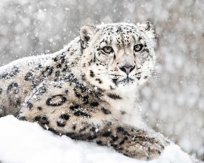 Study provides photo evidence of snow leopards in Arunachal