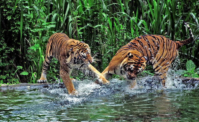 Tigers burn bright in the Sundarbans