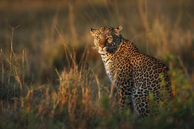 The elusive cats of Masai Mara
