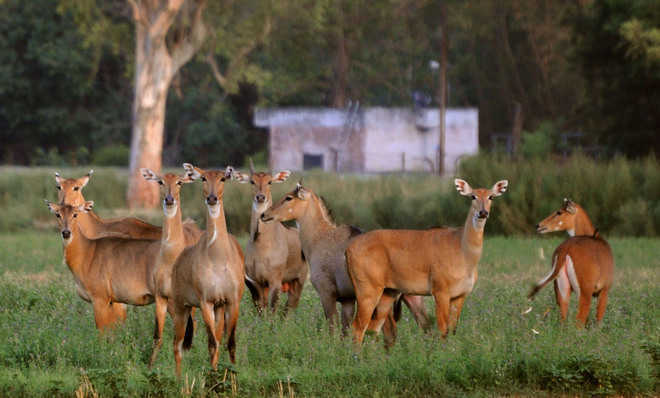 Manipur's Sangai deer needs a new home