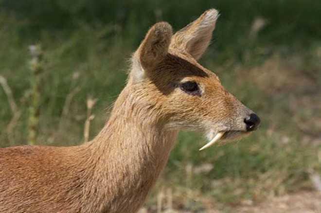 Rare species of musk deer spotted in Kullu national park