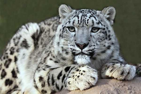 Snow leopard spotted in Kullu national park