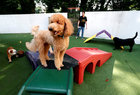 Dogs play at The Wagington luxury pet hotel in Singapore December 6. Reuters