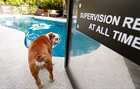 Bobo, a British Bulldog, prepares to take a swim at the 'Bone Pool' of The Wagington luxury pet hotel in Singapore, December 6. Reuters
