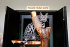 A Bengal cat sits on a cat tree in the Palace Feline Suite at The Wagington luxury pet hotel in Singapore, December 6. Reuters