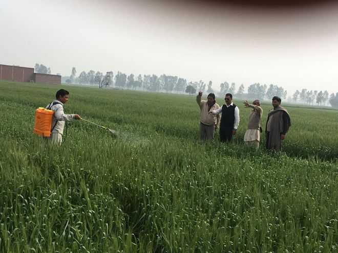 Yellow rust attack on wheat in Y'nagar