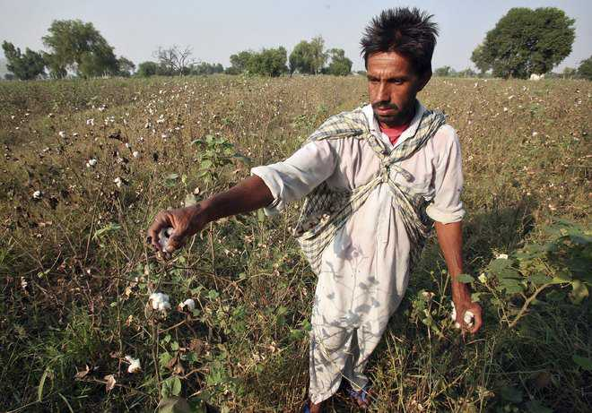 80% of farm suicides by cotton growers: Study