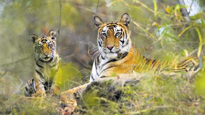 Rs 3.40-cr for tiger relocation at Rajaji Park