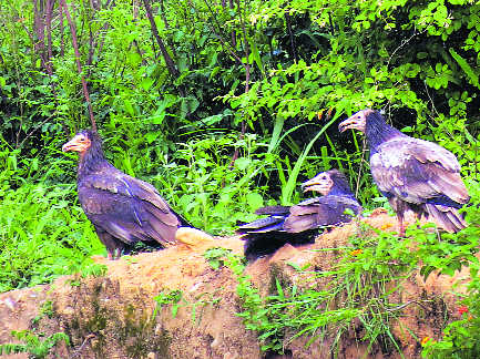 Vulture population sees a rise in Ropar
