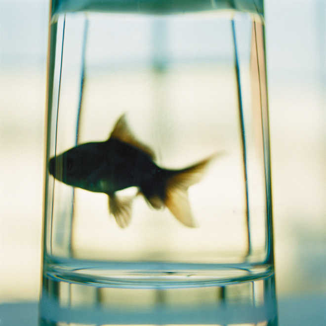 How goldfish make alcohol to survive without oxygen decoded
