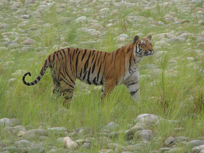 Tigers relocation at Rajaji reserve after monsoon