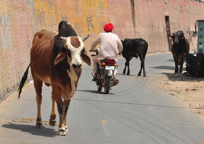 cow on road punjab
