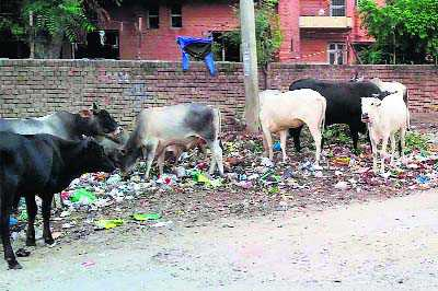 Stray cattle menace continues unabated on city roads