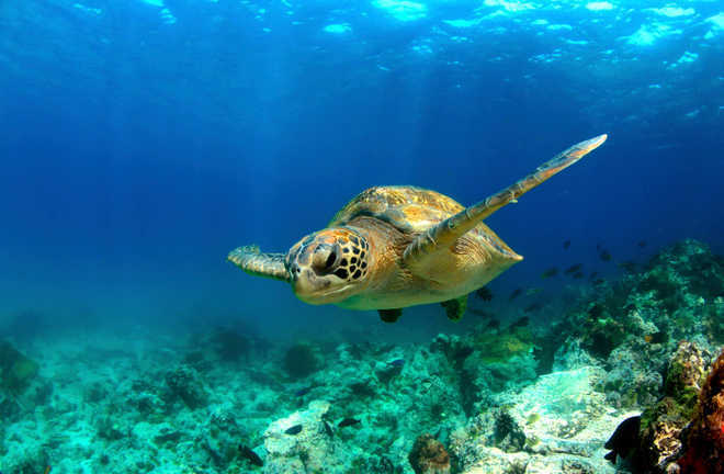 Warming turning major sea turtle population female