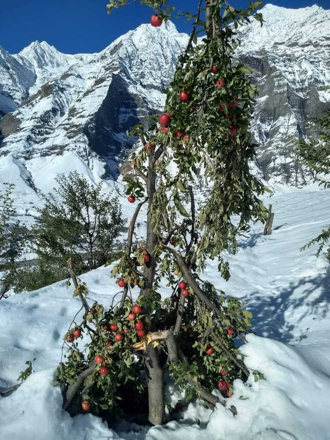 95% apple trees, crops  ruined in Lahaul snow