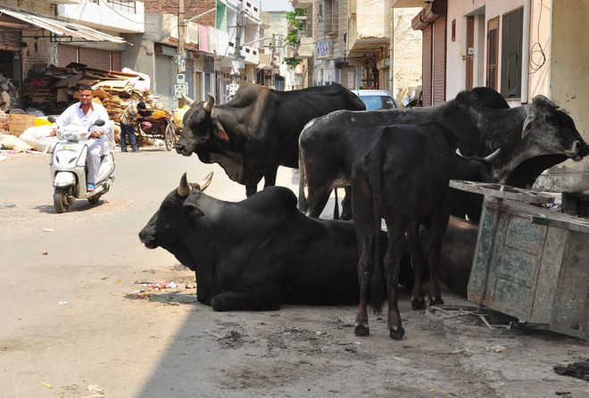 Stray cattle: 6 killed, 63 injured in 2 months
