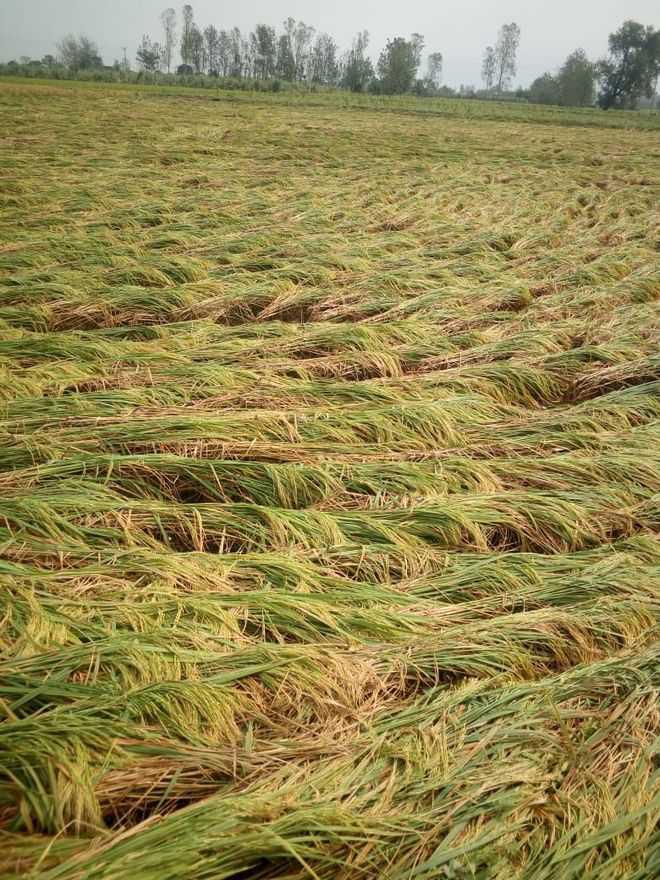 Rain flattens paddy crop in Ambala, Y'nagar
