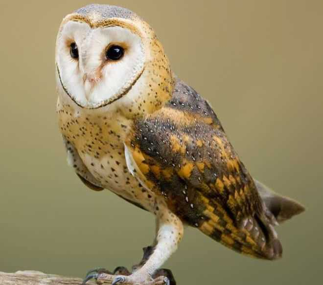 Two owls of rare species go missing from Bir Talab zoo