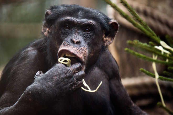 Chimps can sniff out strangers from family members