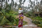 A woman gathers green coconuts struck down due to Cyclone Titli, at Barua village of Srikakulam, October 11. The very severe cyclonic storm Titli caused widespread damage in Srikakulam. PTI