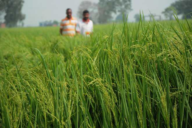 Basmati farmers at mercy of brokers