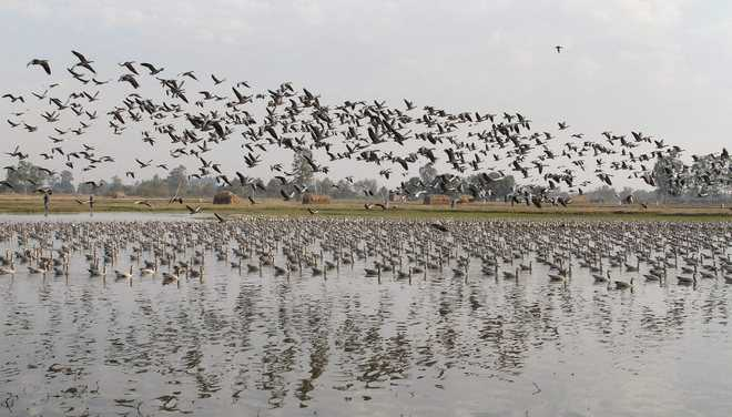 Migratory birds keep date with Kashmir valley again