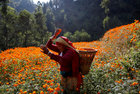 A woman picks marigold flowers, used to make garlands and offer prayers, before selling them to the market for the Tihar festival, also called Diwali, in Kathmandu, Nepal November 4. Reuters