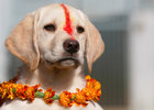 A puppy with 'Sindoor' vermillion powder on its forehead and a garland is pictured after a boy offered prayers during the dog festival as part of Tihar, celebrations also called Diwali, in Kathmandu, Nepal, November 6. Reuters
