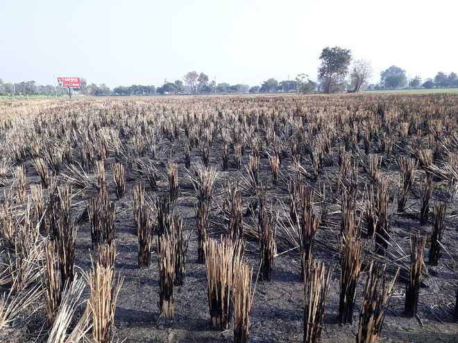 6,500 saplings lost to stubble fires