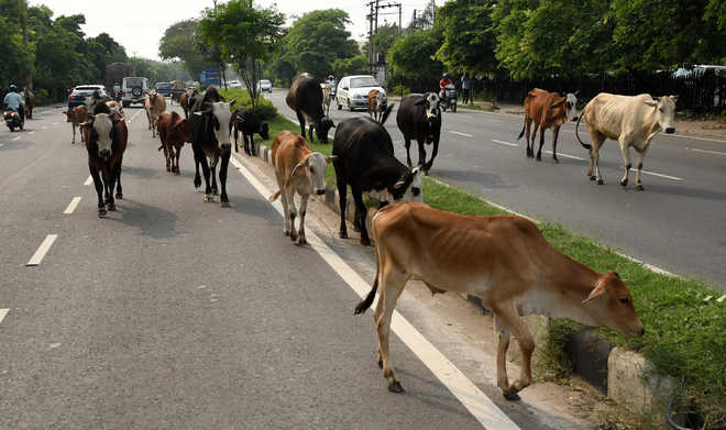 765 head of cattle entered P'kula from neighbouring cities: Report
