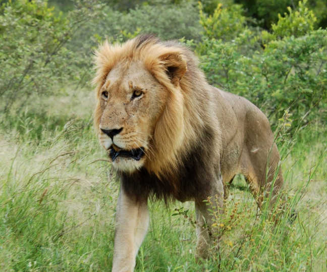 Lions suspected of killing 35-year-old villager in Gujarat