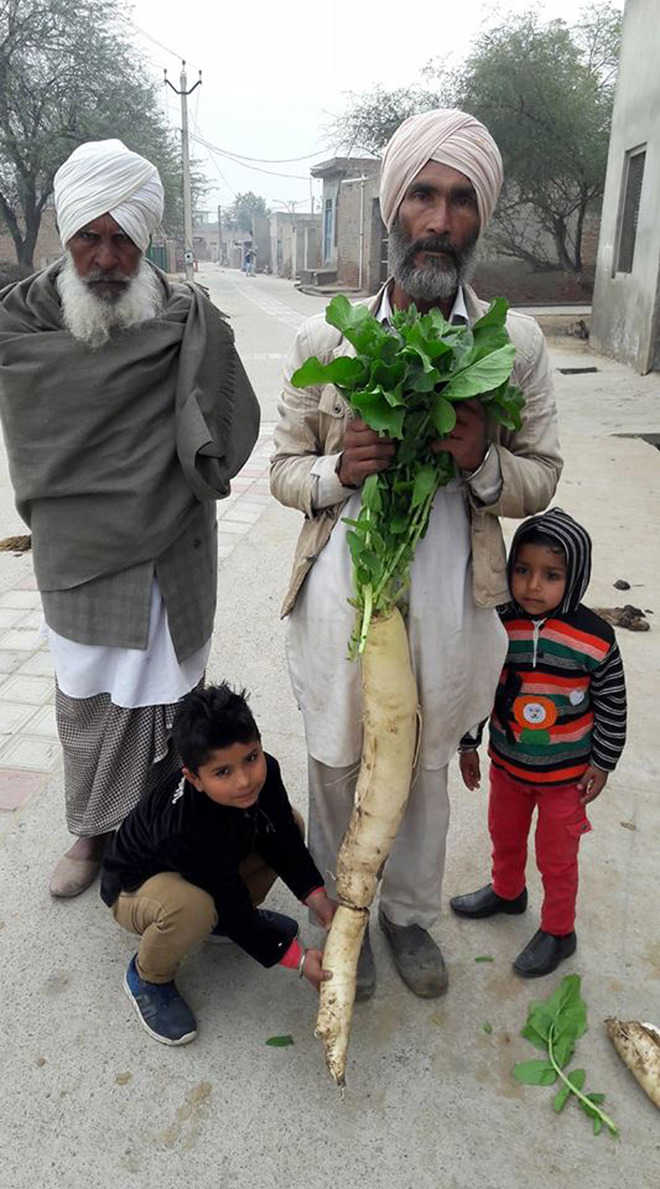 3-ft long radish surprises many in Malout village