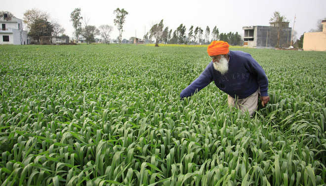 Rain raises hope of bumper wheat crop, farmers rejoice