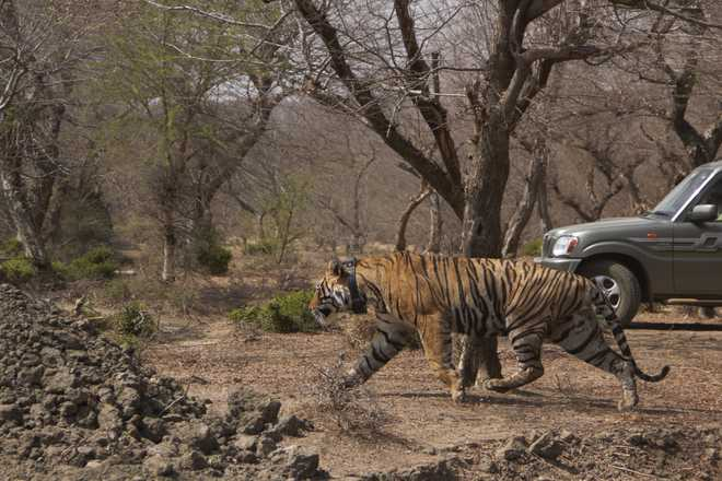 First tiger rehabilitated in Rajasthan's Mukundra Hills National Park
