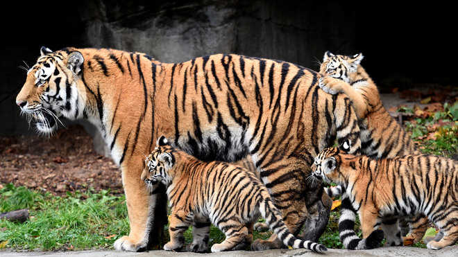 Number of tiger cubs in Sariska National Park rises to 14