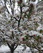 Raining worries for orchardists as April snow could impact crop