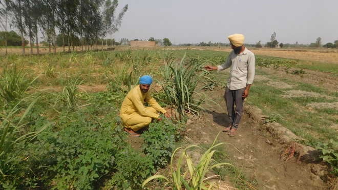 Showing the way, Barnala village farmers turn to organic farming