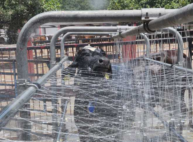 Heat wave intensifies, state may see 20 pc slump in milk production