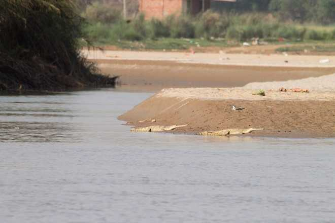 Beas spill: Food scarcity to hit dolphins, gharials