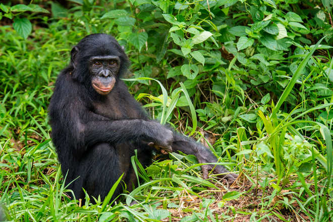 Bonobos have human-like sense of disgust: Study