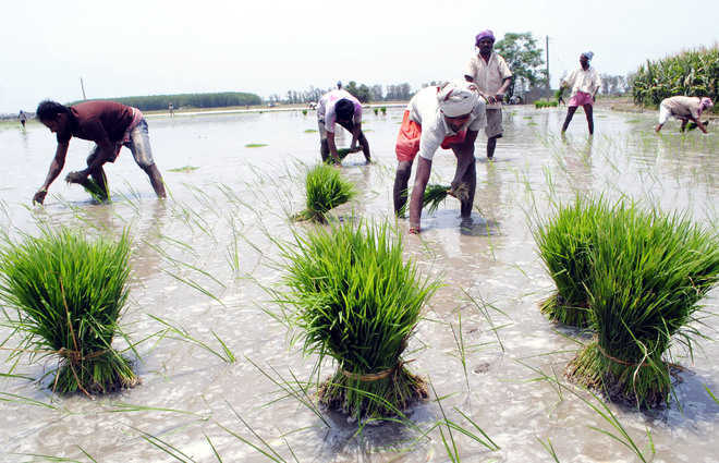Uprooting sown paddy