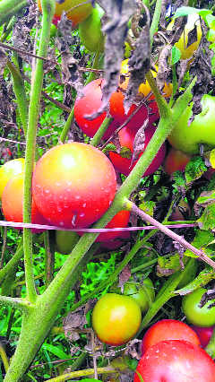 Losses leave tomato growers distressed