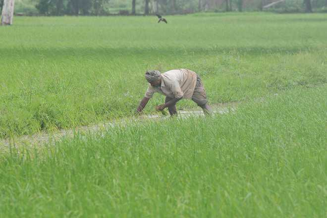 Exporters eye organic J&K basmati for global consumers