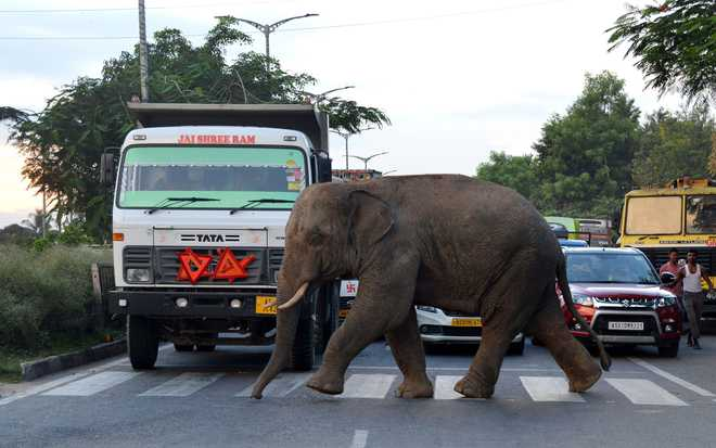 Conservationists warn against shrinking pachyderm population
