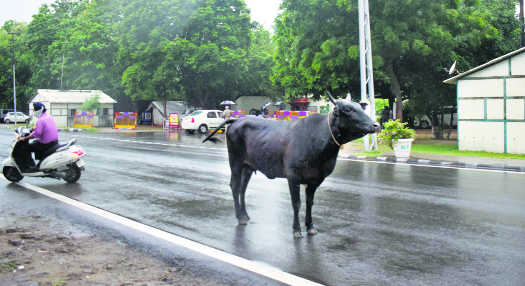 Dist admn plans to send stray cattle to cow shelter at Gajipur village